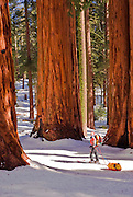 Backcountry skier at the Parker Group of Giant Sequoias, Giant Forest, Sequoia National Park, California