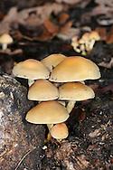 Sulphur Tuft - Hypholoma fasciculuare