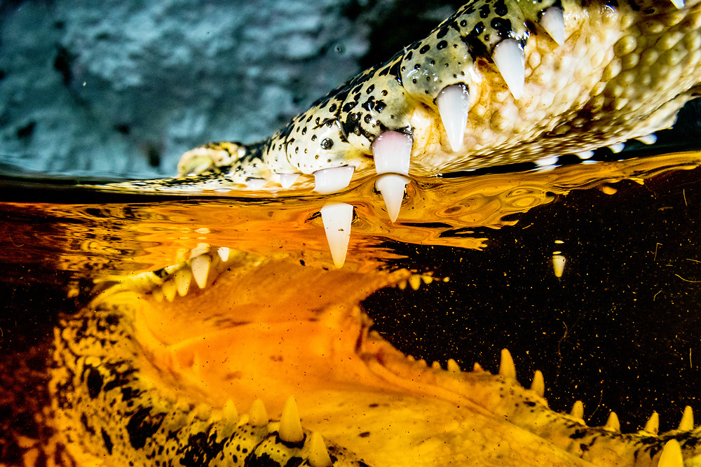 """A critically endangered Cuban Crocodile.  *Note: This image is only for sale for Rights Managed or as a limited edition print. See my """"Limited Editions"""" under the PRINTS tab for more information or send me an email for a quote."""