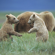 Alaskan Brown Bear (Ursus middendorff) cubs on their hind leges playing in Katmai National Park, Alaska.