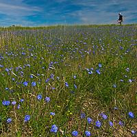 A hiker walks through Western Blue Flax flowers growing on a hillside in the Upper Missouri River Breaks in central Montana.