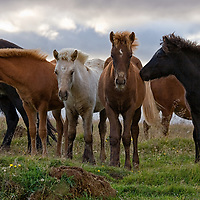 """According to """"Wikipedia"""" - The ancestors of the Icelandic horse were probably taken to Iceland by Viking Age Scandinavians between 860 and 935 AD. The Norse settlers were followed by immigrants from Norse colonies in Ireland, the Isle of Man and the Western Isles of Scotland. These later settlers arrived with the ancestors of what would elsewhere become Shetland, Highland, and Connemara ponies, which were crossed with the previously imported animals. There may also have been a connection with the Yakut pony, and the breed has physical similarities to the Nordlandshest of Norway. Other breeds with similar characteristics include the Faroe pony of the Faeroe Islands and the Norwegian Fjord horse. About 900 years ago, attempts were made to introduce eastern blood into the Icelandic, resulting in a degeneration of the stock. In 982 AD the Icelandic Althing (parliament) passed laws prohibiting the importation of horses into Iceland, thus ending crossbreeding. The breed has now been bred pure in Iceland for more than 1,000 years.<br /> This horses were also standing somewhere along the ring road, heading Brekka."""