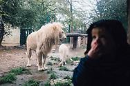 22.10.2017 Magdeburger Zoo.<br /> <br /> Eine traurige Attraktion, weiße Löwen sind etwas besonderes. 70 Tieren leben in Zoos, eigentlich kommen sie aus dem Timbavati-Gebiet in Südafrika. In freier Wildbahn sollen nur noch 13 Tiere leben. Wenn mehr Tiere in Gefangenschaft leben als in Freiheit, gelten sie dann als ausgestorben?<br /> <br /> ©Harald Krieg