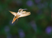 Allen's hummingbird, Selasphorus sasin, Santa Cruz Mountains, California