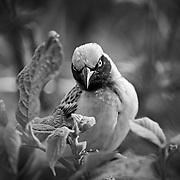 """""""Weaver Bird""""                                                   Tanzania<br />   A beautiful bird in a beautiful place."""