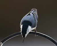 White-breasted Nuthatch (Sitta carolinensis). Image taken with a Nikon D5 camera and 600 mm f/4 VR telephoto lens.