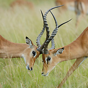 Impala (Aepyceros melampus) pair. Masai Mara National Reserve, Kenya, Africa