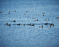 Group of Lessor Scaup feeding. Morning at Black Point Wildlife Drive in Merritt Island National Wildlife Refuge. Image taken with a Nikon D700 camera and 18-300mm VR lens (ISO 200, 300 mm, f/9, 1/320 sec).
