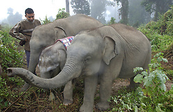 Dr. Bhaskar Choudhury and his collegues work with elephants who have been abandoned during drives to get herds from rampaging through villages at a rescue center near the Kazaringa National Park in Assam, India January 5, 2003.(Ami Vitale)