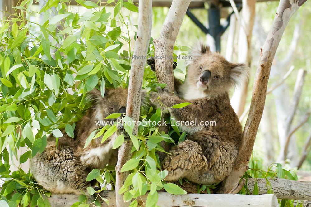 Two Female Koala (Phascolarctos cinereus) in an Eucalyptus tree