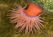 Close up of a red form of beadlet anemone (Actina equine) in a rock pool at the Sea Life Centre Hunstanton Norfolk
