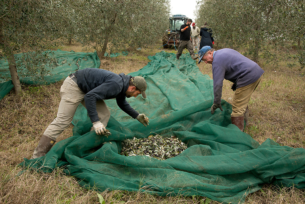 Cimicchi Olives being harvested in Orvieto, Italy