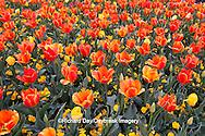 65021-029.14 Orange and yellow tulips (Tulipa sp), with yellow pansies (Viola sp) MO