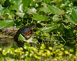 Turtle soaking up the sun on the Silver River in Ocala Florida.