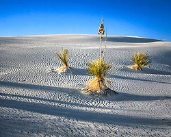 Grouping of three yucca plants casting long shadows in early morning light at White Sands National Monument