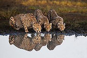A cheetah and her two cubs (Acinonyx jubatus) reflected in the water as they drink from a water hole during the calving season of the great migration , Ndutu, Ngorongoro Conservation Area, Tanzania, Africa