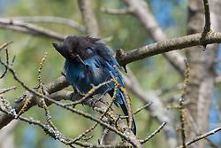 Steller's Jay (Cyanocitta stelleri), Seattle, Washington, US