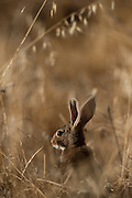 European Rabbit (Oryctolagus cuniculus) the diet of the Iberian Lynx (Lynx pardinus)<br /> Sierra de Andújar Natural Park, Mediterranean woodland of Sierra Morena, north east Jaén Province, Andalusia. SPAIN<br /> Their numbers have been greatly reduced due to deseases like Myxomatosis & Rabbit Haemorraghic Disease, also habitat loss and over-hunting.<br /> <br /> Mission: Iberian Lynx, May 2009<br /> © Pete Oxford / Wild Wonders of Europe<br /> Zaldumbide #506 y Toledo<br /> La Floresta, Quito. ECUADOR<br /> South America<br /> Tel: 593-2-2226958<br /> e-mail: pete@peteoxford.com<br /> www.peteoxford.com