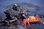Sally Lightfoot crab, Grapsus grapsus, and endemic marine iguanas, Amblyrhynchus cristatus, Galapagos Islands, Ecuador ( tropical Eastern Pacific Ocean )