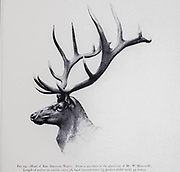 The elk (Cervus canadensis), also known as the wapiti, from the book ' The deer of all lands : a history of the family Cervidae, living and extinct ' by Richard Lydekker, Published in London by Ward 1898