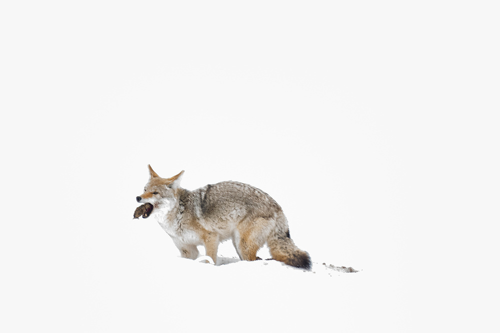 A coyote eats a vole that it has caught in a meadow covered with snow.
