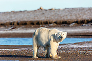 Female polar bear (Ursus maritimus) walking on spit on Barter Island near Kaktovik in the Arctic National Wildlife Refuge in the Far North of Alaska. Autumn. Morning.