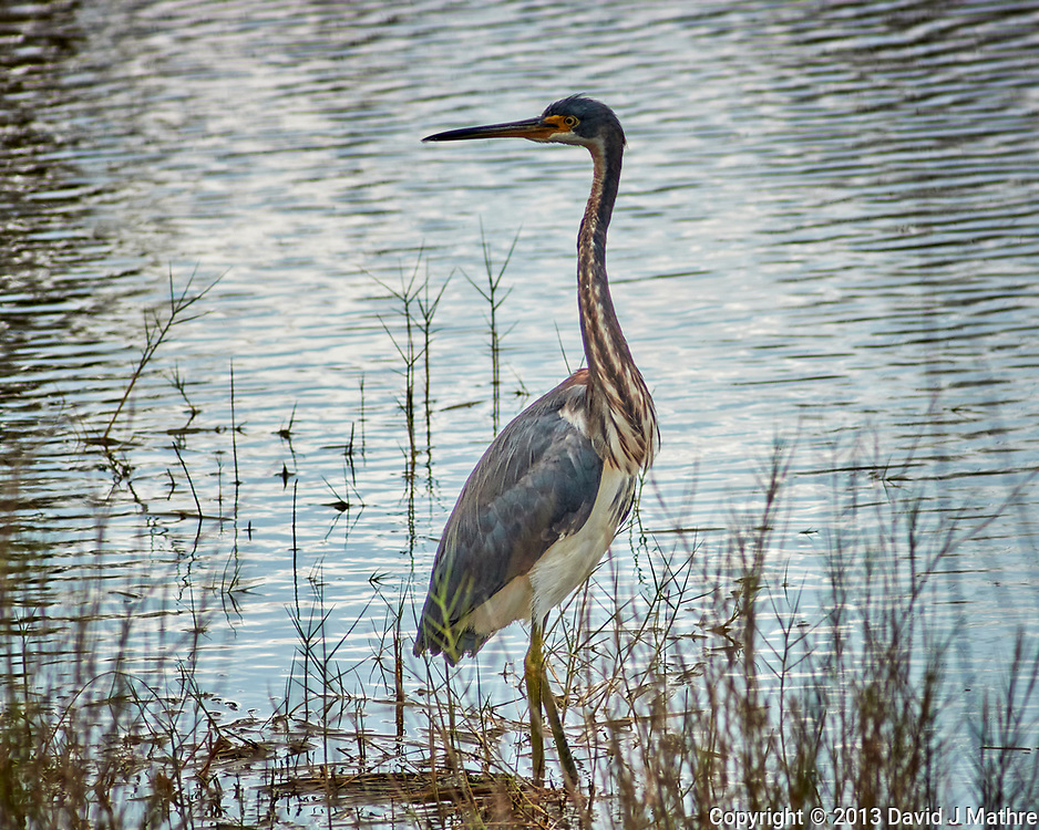 Tricolored Heron. Black Point Wildlife Drive in Merritt Island National Wildlife Refuge. Image taken with a Nikon N1V2 camera, FT2 adapter, and 180 mm f/2.8 lens (ISO 160, 180 mm, f/5.6, 1/1000 sec).