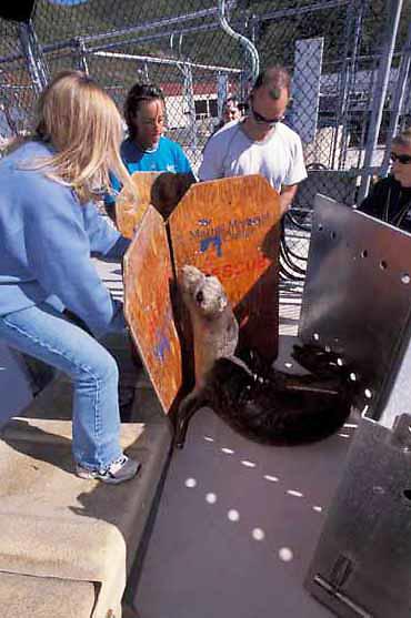 Northern Elephant Seal, (Mirounga angustirostris)  Volunteers from Marine Mammal Center coax Kona into release box.California.