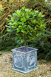 Evergreen standard bay tree in a square lead container with slate mulch. Laurus nobilis. Sweet bay, Bay laurel