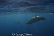 Blainville's beaked whales, or dense-beaked whales<br /> Mesoplodon densirostris<br /> Northwest Providence Channel<br /> near Great Abaco Island<br /> Bahamas ( Western Atlantic Ocean )