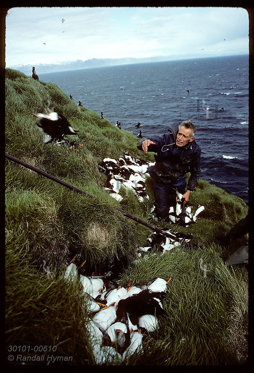 Westmann Islander tosses dead puffin in pile he has hunted with 'hafur' net during July hunt. Iceland