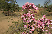 """Environs. Flowering """"Desert Rose"""" bush/tree in a dry steam bed area of the Sahel in Eastern Chad, near the Breidjing Refugee Camp. The Adenium or """"Desert Rose"""" is an extraordinary tropical plant. Coming essentially from East Africa, where it is found under different """"subspecies"""" in countries like Sudan, Yemen, Socotra , Namibia, South Africa, Zimbabwe. (Supporting image from the project Hungry Planet: What the World Eats.)."""