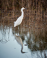 Snowy Egret along Black Point Wildlife Drive. Image taken with a Nikon N1V2 camera, FT1 adapter and 70-200 mm f/4 VR lens (ISO 160, 200 mm, f/5, 1/400 sec).