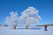 Man snowshoeing with hoarfrost covered cottonwood trees <br />
