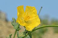 Yellow Horned-poppy - Glaucium flavum
