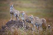 Three male cheetah brothers (Acinonyx jubatus) in a coalition posing on a termite mound, Masai Mara, Kenya,Africa