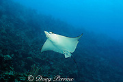 spotted eagle ray, Aetobatus narinari, southern Belize barrier reef, Belize, Central America ( Caribbean Sea )