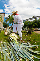 Worker in costume demonstrates how an agave plant is chopped up to get to the agave pena, which is processed to make tequila, Casa Herradura (distillery) in the town of Tequila, Jalisco, Mexico
