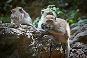 Macaque monkeys rest on rocks in a tropical forest on an island in the Langkawi archipelago, Malaysia