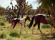 Colt with mare, domestic horses among Joshua Trees, Joshua Trees National Landmark, Gand Wash Cliffs, Arizona.