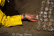 volunteer removes and counts eggs from nest of Australian flatback sea turtle, Natator depressus, Curtis Island, Queensland, Australia (note size difference of last two eggs)
