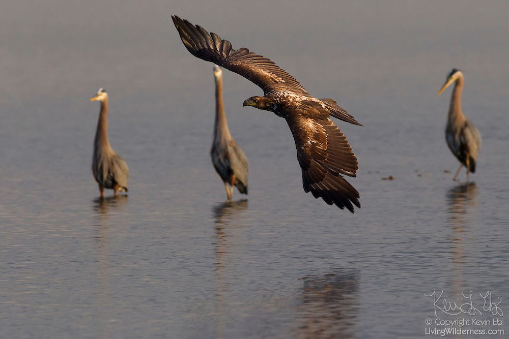 A juvenile bald eagle (Haliaeetus leucocephalus) flies past three great blue herons (Ardea herodias) as they attempt to catch fish in Hood Canal near Seabeck, Washington. During the early summer, bald eagles and great blue herons flock to the area near Big Beef Creek in great numbers to feed on fish trapped in oyster beds during low tides.