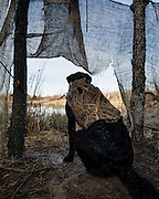 """Tony Troxell's 2 year old black labrador retriever """"Ellie"""" watches for ducks while hunting in Shamrock, Oklahoma"""