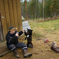 FINLAND.  A dog is given reindeer heads for bones.
