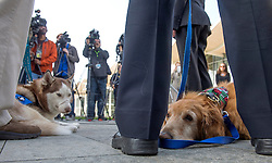 December 14, 2016 - Newport Beach, California, USA - Patriot, a Siberian Husky, left, and Henry, a golden retriever, during an animal cruelty press conference in Newport Beach, California, December 14, 2016...Henry, a 7-year-old golden retriever suffering from a 42-pound malignant tumor, was abandoned at an animal hospital by his owner, who is accused of claiming she found the dog at a beach...Patriot has scars from a previous owner who tied a metal wire around his nose to keep him from barking...The Newport Beach Police Department,  Animal Control, Orange County District Attorney's Office, Orange County Society for the Prevention of Cruelty to Animals (OCSPCA), and Supervisor Michelle Steel held a news conference tomorrow to discuss the consequences of animal cruelty and the resources available to citizens who find themselves unable to provide care for their pets due to various circumstances. ..(Photo by Jeff Gritchen, Orange County Register/SCNG) (Credit Image: © Jeff Gritchen/The Orange County Register via ZUMA Wire)
