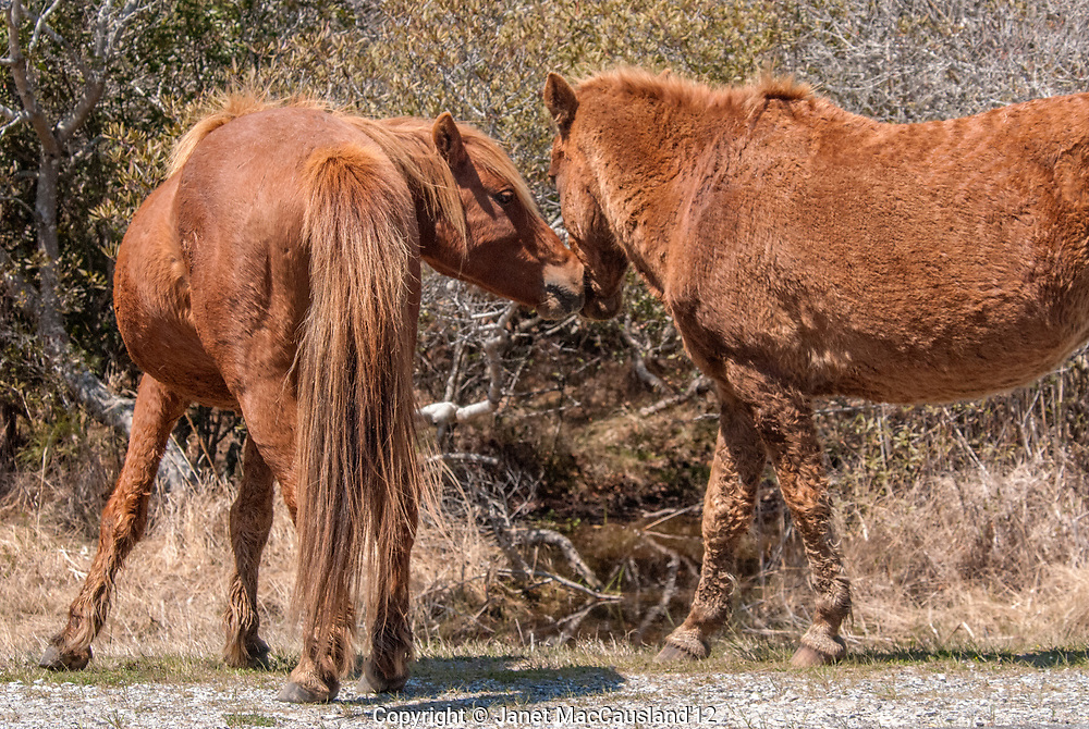 A wild stallion imposes himself on  mare with a nose to nose confrontation on Assateague Island, Maryland, USA.