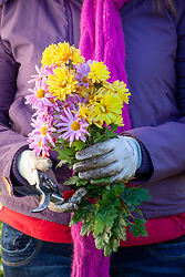 Holding bunch of cut flowers - chrysanthemums