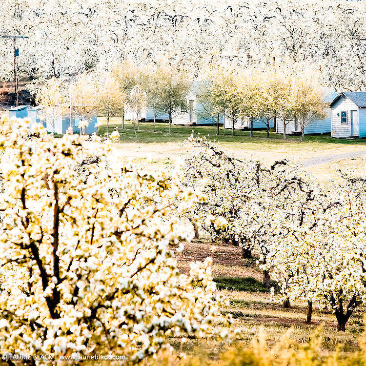 Spring orchard blossoms around houses