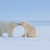 Two polar bear cubs of the year greet each other and touch noses, Kaktovik, arctic Alaska
