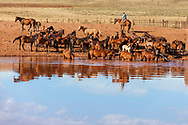 Watering the horse herd in the morning